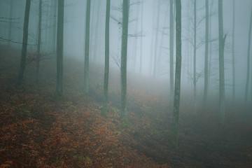 Misty mountain beech forest landscape.  © robsonphoto