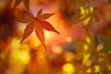 Colorful sunny autumn season maple leaf on golden bokeh background. Selective focus used. - 221327087