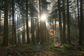 Magical sun rays through autumn season forest landscape. © robsonphoto