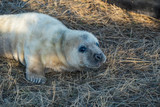 Grey Seals & Pups - 221337091