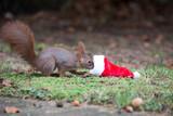 Eichhörnchen mit Nikolausmütze - 221342477
