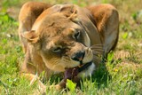 Close up of a lioness eating meat - 221349206