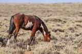 Beautiful Wild Horse in Sand Wash Basin Colorado - 221351687