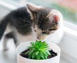 The domestic striped kitten plays with a succulent pot - 221358470