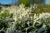 Spring flowering of the decorative bush Reeve's spiraea (Spiraea cantoniensis) - 221359045