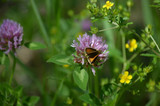 Wild Clover in field with butterfly close up background room for text.