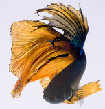 halfmoon betta fish, siamese fighting fish, capture moving of fish, betta splendens - 221379634