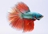 halfmoon betta fish, siamese fighting fish, capture moving of fish, betta splendens