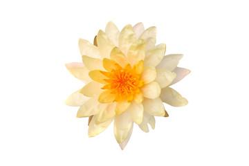 Lotus lotus white backdrop