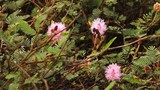A close up static shot of pink flowers in the Indian bushland - 221383286