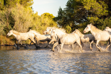Wild white horses of Camargue running on water, Aigues Mortes, France