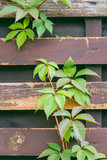 Old wooden red fence with freen plants over it. - 221390077