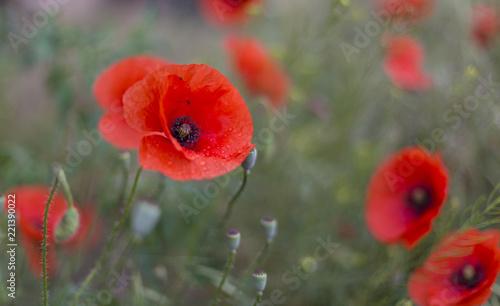 Fototapeta Closeup of red poppies (Papaver rhoeas). red poppy flowers - Papaveraceae Papaver rhoeas