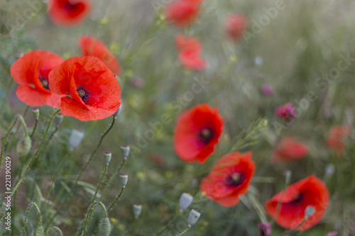 Closeup of red poppies papaver rhoeas red poppy flowers closeup of red poppies papaver rhoeas red poppy flowers papaveraceae papaver rhoeas mightylinksfo