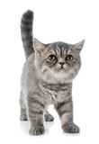 exotic shorthair kitten - 221393625