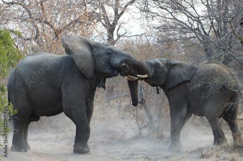 Foto Murales Combat d'éléphants