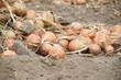 Feld mit reifen Gemüsezwiebeln im Hochsommer