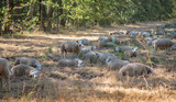 Herd of sheep in forest meadow on sunny summer day. - 221408215