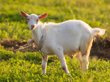 White goat grazing on green grass outdoors - 221409814