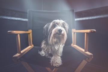Biewer dog portrait in studio © oneinchpunch