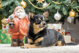 Chihuahua puppy under the New Year tree protects gifts