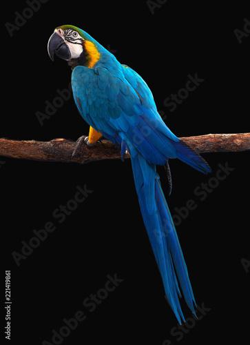 Fototapeta Macaw Parrot bird isolated on black
