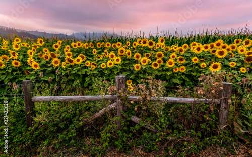 Fototapeta Sunflower Field at Sunset, Northern California, USA