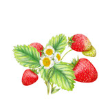 Hand drawn illustration of strawberries - 221423441