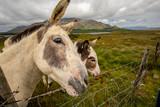 Cute donkeys in Lough Inagh Valley, Connemara