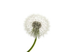 Dandelion close-up. Air beautiful Bud on a light background. - 221424847