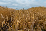 Ripe wheat. Harvest of bread. Ears. Wheat in the south of Russia, Stavropol Territory. A large species of ears. - 221424884