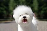 bichon frise puppy cute portrait