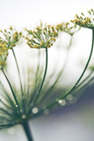 Close up of blooming dill flowers. Nature background. - 221432493