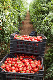 Collection of fresh tomato - 221440662
