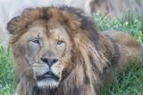 lion head color - 221444422