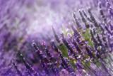 Lavenders - 221446221
