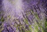 Lavenders - 221446632