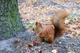 Little red squirrel - 221447284