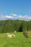 Cute sheep on a mountain pasture, Pieniny Mountains - 221450270
