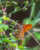 Side profile of a Gulf Fritillary Butterfly among wildflowers at the end of summer!