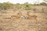 Impalas standing opposite at Kruger Nationalpark, South Africa - 221454418