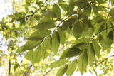 Branches full of green leaves of a chestnut tree - 221456496