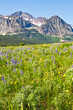 A field of wildflowers carpeting the landscape in Glacier National Park with a forest in the background and a mountain rising against the sky.