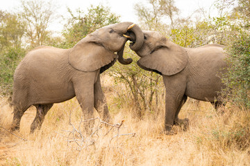 Young elephants are getting in touch with their trunks at Kruger Nationalpark, South Africa