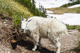 A single mountain goat in a forest in Glacier National Park. - 221457074