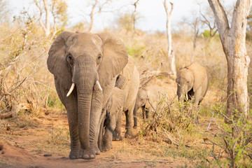 Elephant family is walking through the savannah at Kruger Nationalpark, South Africa