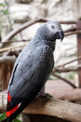 Fototapeta Pretty gray parrot