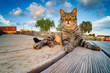 Tabby cat on a wooden pier enjoys the outdoors