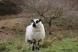 Sheep with Lamb - 221463091