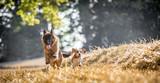 The German Shepherd - 221463092
